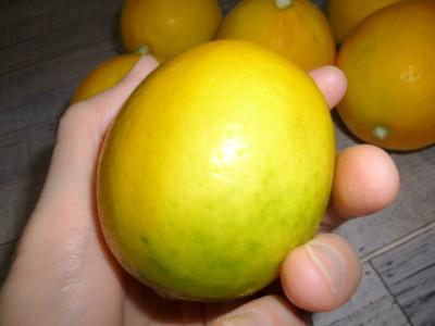 立派なレモン